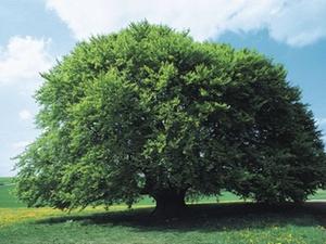 Haftung des Grundstückeigentümers für Bäume