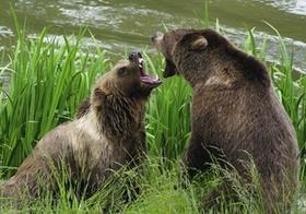 Bären Streit