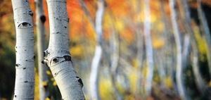 BGH: Kein Anspruch auf Baumfällen trotz Laub und Pollen