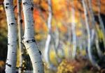 Birkenstaemme im Herbst