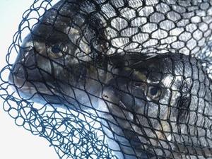 Von der Fischmahlzeit vor den Richter
