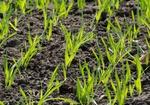 Feld mit jungen Gerstenpflanzen