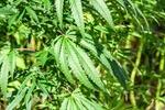 Hanfpflanze in einem Hanffeld/Nutzhanf