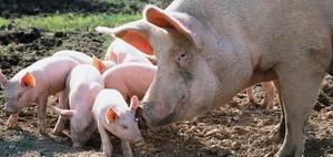 Colours of law: Das Schwein in Recht und Politik