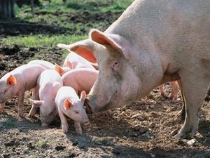 Kuriose Fälle vor Gericht - Auch das noch: Schweinerei