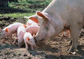 Hausschwein mit Ferkeln