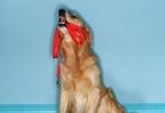 Hund mit Leine im Maul