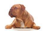 Liegende Bordeaux-Dogge