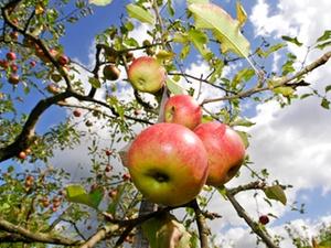 Arbeitsunfall: Verletzung vom Äpfelschütteln kein Arbeitsunfall
