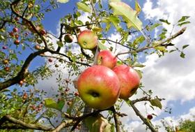 Meissenheim Herbst Feature Apfel Apfelbaum