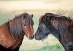 Ponys, zwei, Portraet