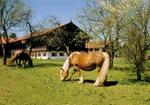 Pferde auf Wiese vor Bauernhof, Fruehling