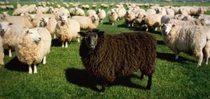 Führung: Trainings von Schafen für Schafe