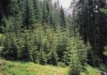 Tannen Wald