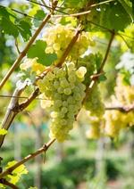 Weinstock mit weissen Trauben