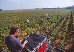 Weinlese auf Rebenfeld, rote Trauben in Kisten, Frankreich