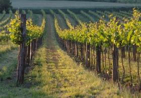 Weinstoecke auf Rebenfeld, Niederoesterreich