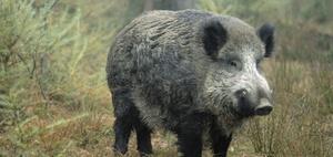 Kuriose Fälle vor Gericht – Schweinischer Besuch