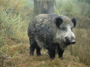 Mietrecht: Vermieter muss Wildschweine fernhalten