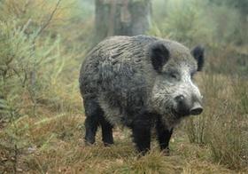 Wildschwein, Keiler, im Wald