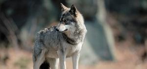 Umstrittenes Urteil zum Abschuss eines Wolfes - Ärger um Isegrim