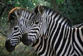 Zebra, Ngorongoro *** Local Caption *** F: Wendler