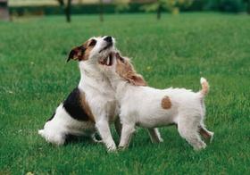 Zwei Jack-Russel-Terrier spielen miteinander auf Wiese